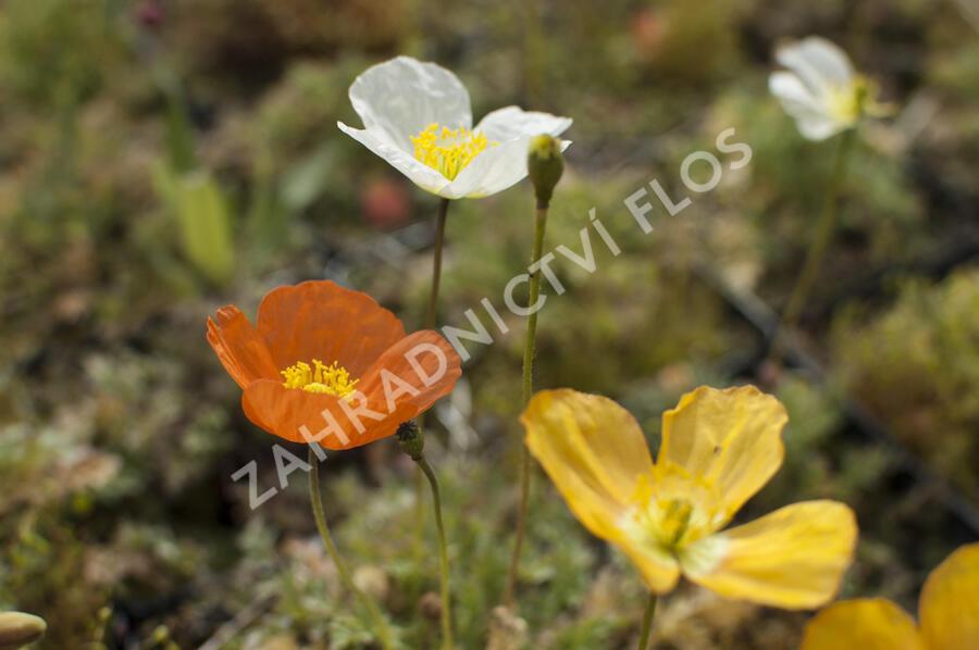 Mák alpínský - Papaver alpinum