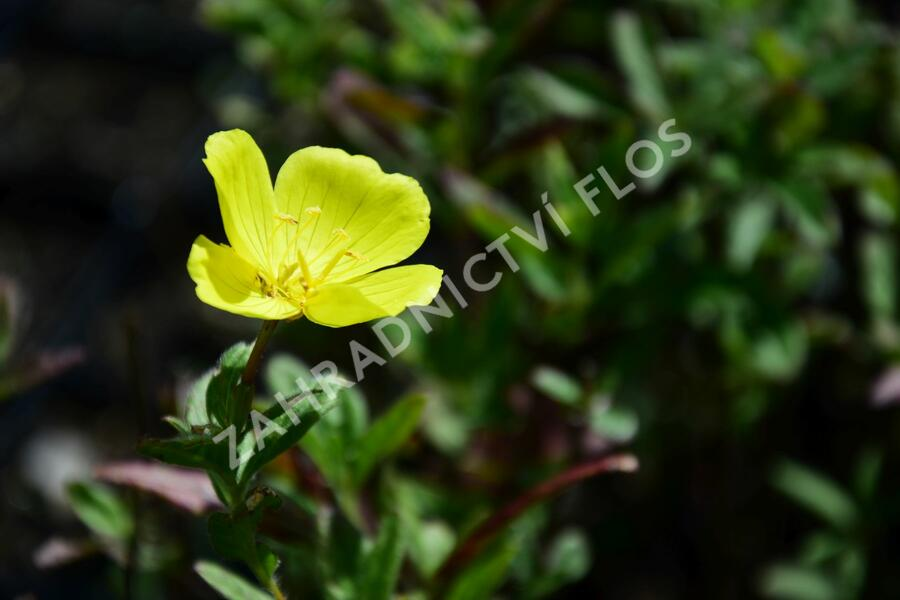 Pupalka 'Yella Fella' - Oenothera pilosella 'Yella Fella'