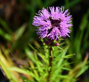 Šuškarda 'Floristan Violet' - Liatris spicata 'Floristan Violet'