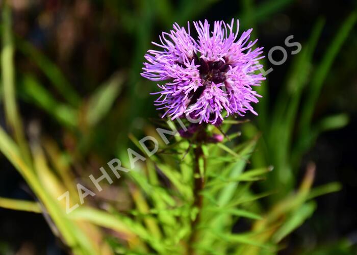 Šuškarda 'Floristan Weiss' - Liatris spicata 'Floristan Violet'
