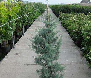 Cypřiš arizonský 'Glauca' - Cupressus arizonica 'Glauca'