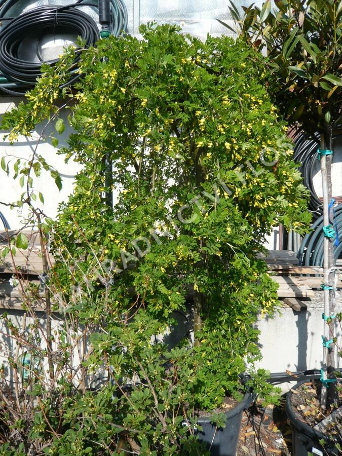 Čimišník stromový 'Pendula' - Caragana arborescens 'Pendula'