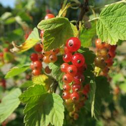Rybíz červený 'Rovada' - Ribes rubrum 'Rovada'