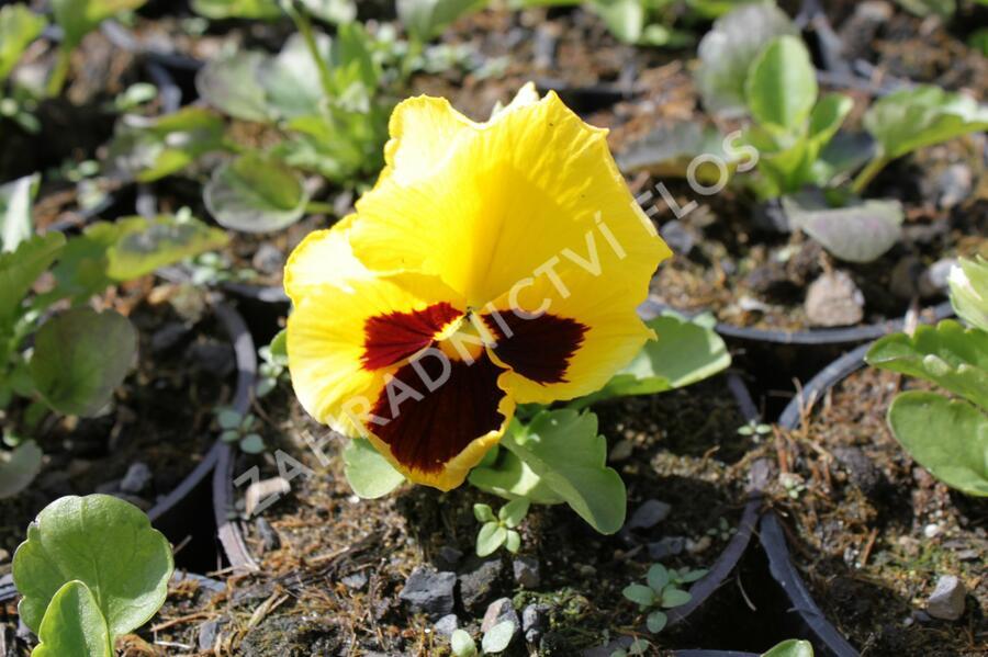 Violka, maceška zahradní 'Colossus Yellow with Blotch' - Viola wittrockiana 'Colossus Yellow with Blotch'