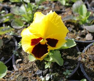 Maceška zahradní 'Colossus Yellow with Blotch' - Viola wittrockiana 'Colossus Yellow with Blotch'