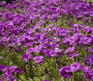 Tařička zahradní 'Glacier Lilac' - Aubrieta hybrida 'Glacier Lilac'