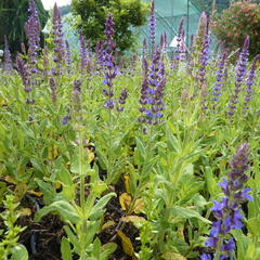 Šalvěj hajní 'Blau Königin' - Salvia nemorosa 'Blau Königin'