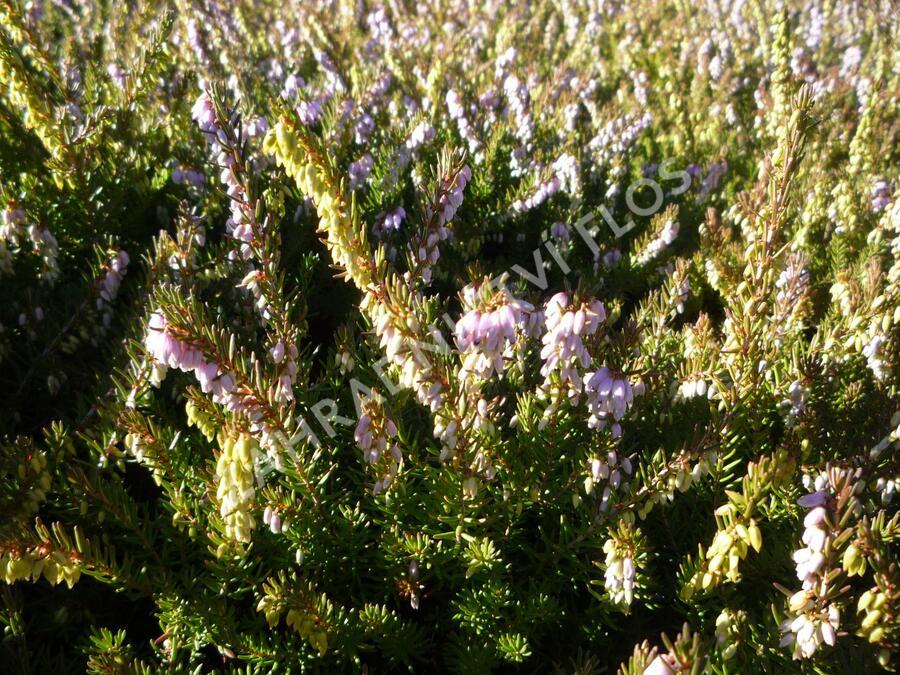 Vřesovec darlejský 'Darley Dale' - Erica darleyensis 'Darley Dale'