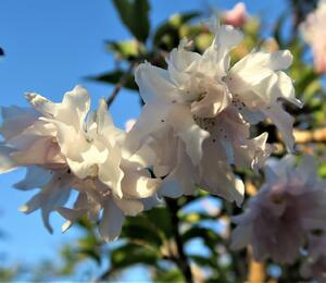 Slivoň vyříznutá 'Oshidori' - Prunus incisa 'Oshidori'
