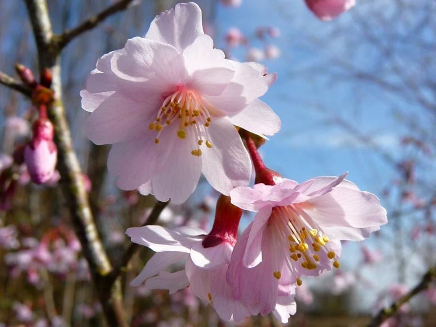 Slivoň vyříznutá 'Mikinori' - Prunus incisa 'Mikinori'