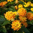 Libora měňavá 'Esperanta Orange' - Lantana camara 'Esperanta Orange'