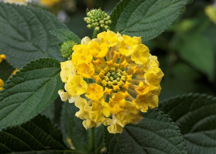 Libora měňavá 'Bandana Yellow' - Lantana camara 'Bandana Yellow'