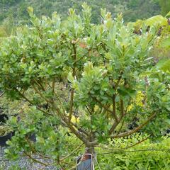Vrba - Salix tetrapla