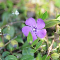 Barvínek menší 'Atropurpurea' - Vinca minor 'Atropurpurea'
