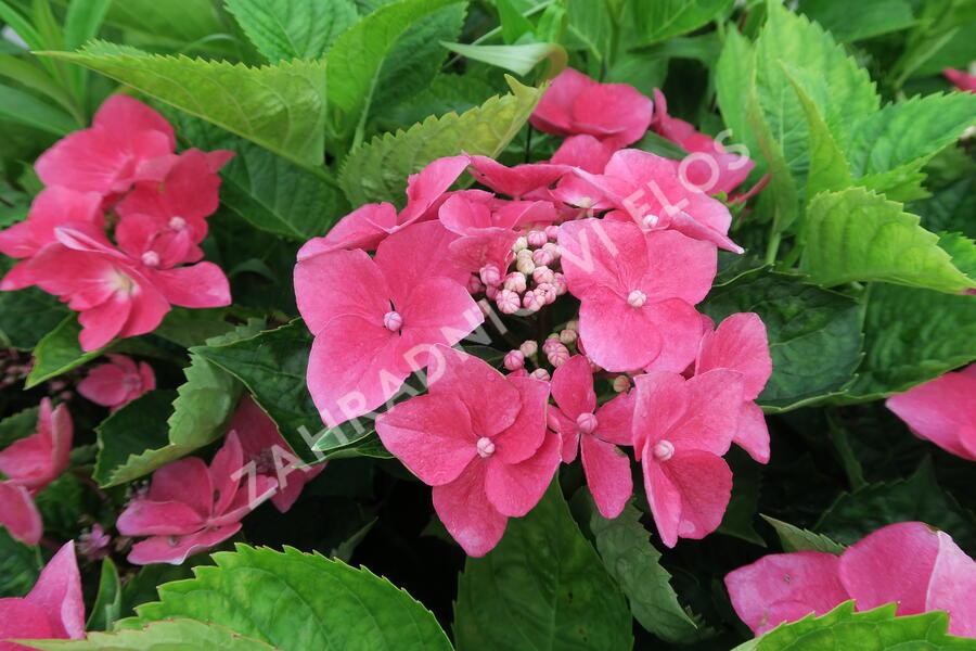 Hortenzie velkolistá 'Kardinal' - Hydrangea macrophylla 'Kardinal'