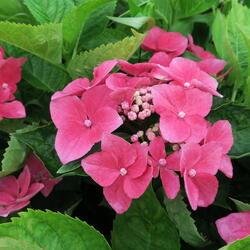Hortenzie velkolistá - Hydrangea macrophylla 'Kardinal'