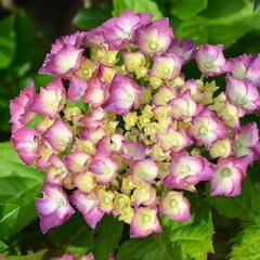 Hortenzie velkolistá 'King George V.' - Hydrangea macrophylla 'King George V.'