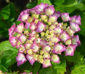 Hortenzie velkolistá 'King George V. - Hydrangea macrophylla 'King George V.'