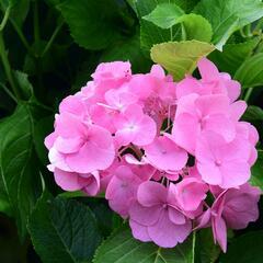 Hortenzie velkolistá 'Freudenstein' - Hydrangea macrophylla 'Freudenstein'