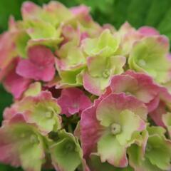 Hortenzie velkolistá 'Hamburg' - Hydrangea macrophylla 'Hamburg'