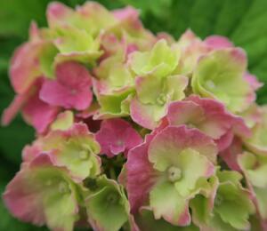 Hortenzie velkolistá - Hydrangea macrophylla 'Hamburg'