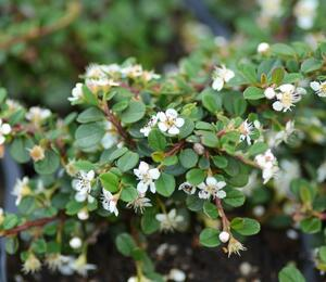 Skalník drobnolistý 'Queen of Carpets' - Cotoneaster microphyllus 'Queen of Carpets'