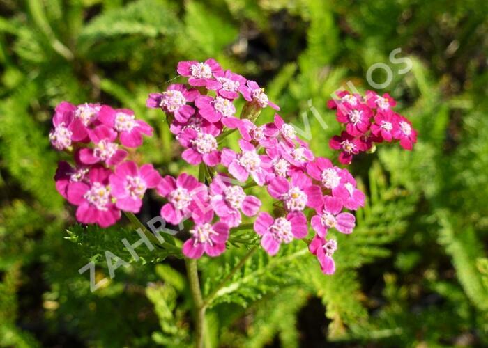 Řebříček obecný 'Desert Eve Deep Rose' - Achillea millefolium 'Desert Eve Deep Rose'