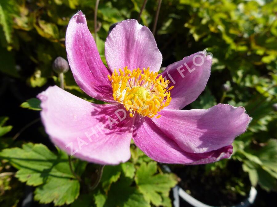 Sasanka  'Praecox' - Anemone hupehensis 'Praecox'