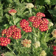 Řebříček obecný 'Summer Fruits Carmine' - Achillea millefolium 'Summer Fruits Carmine'