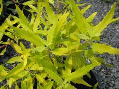 Ořechokřídlec clandonský 'Worcester Gold' - Caryopteris clandonensis 'Worcester Gold'