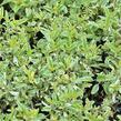 Ořechokřídlec clandonský 'White Surprise' - Caryopteris clandonensis 'White Surprise'