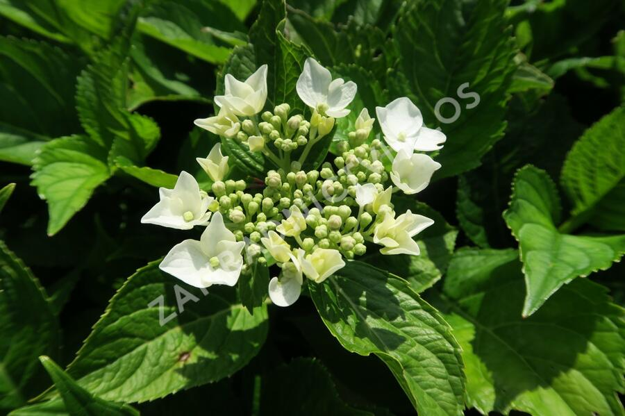 Hortenzie velkolistá 'Mariesii Grandiflora' - Hydrangea macrophylla 'Mariesii Grandiflora'