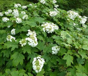 Hortenzie dubolistá - Hydrangea quercifolia 'Sikes Dwarf'