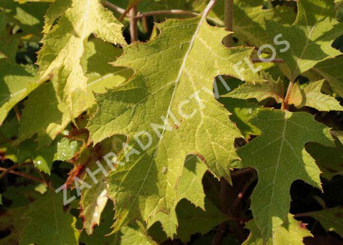 Hortenzie dubolistá 'Ice Crystal' - Hydrangea quercifolia 'Ice Crystal'
