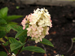 Hortenzie latnatá 'Pink Diamond' - Hydrangea paniculata 'Pink Diamond'