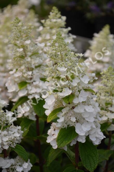 Hortenzie latnatá 'Baby Lace' - Hydrangea paniculata 'Baby Lace'
