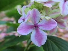 Hortenzie velkolistá 'Peppermint' - Hydrangea macrophylla 'Peppermint'