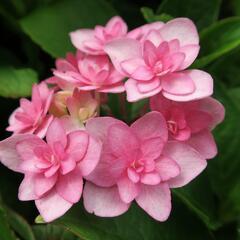 Hortenzie velkolistá 'You & Me Expression' - Hydrangea macrophylla 'You & Me Expression'