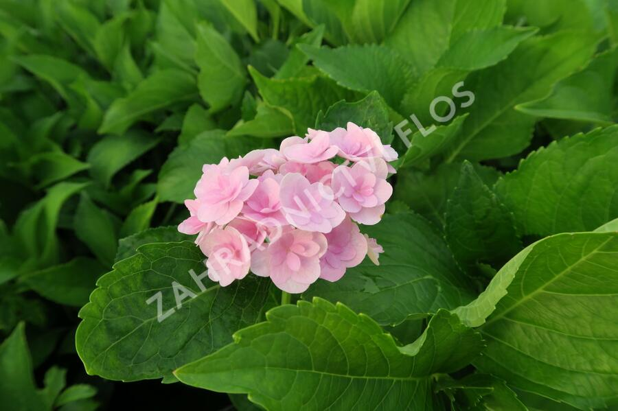 Hortenzie velkolistá 'You & Me Expression' - Hydrangea macrophylla 'You & Me Expression'