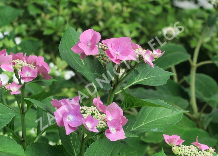 Hortenzie velkolistá 'Taube' - Hydrangea macrophylla 'Taube'