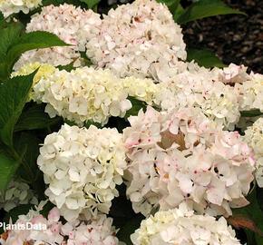 Hortenzie velkolistá 'Soeur Therese' - Hydrangea macrophylla 'Soeur Therese'