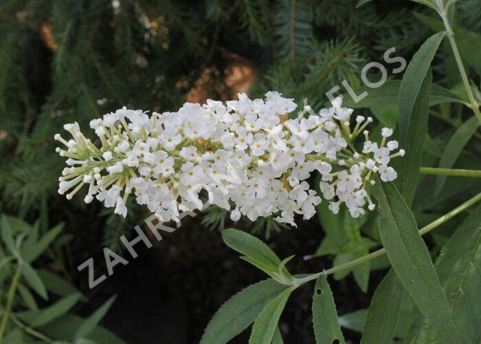 Motýlí keř, Komule Davidova 'Nanho White' - Buddleia davidii 'Nanho White'
