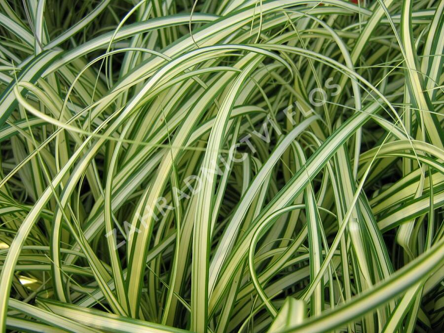 Ostřice ošimenská 'Evergold' - Carex oshimensis 'Evergold'