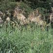Ozdobnice čínská 'Silberfeder' - Miscanthus sinensis 'Silberfeder'