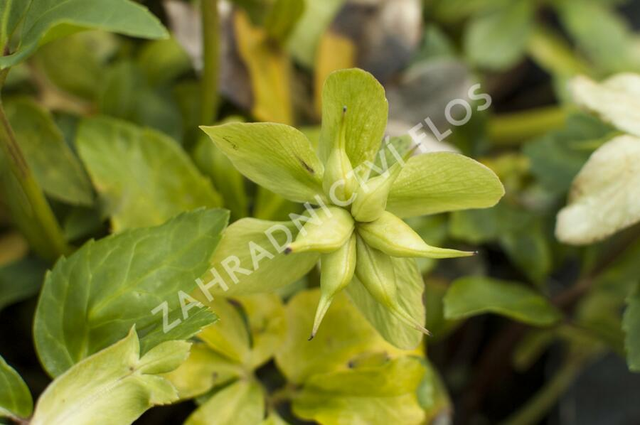 Čemeřice černá 'Praecox' - Helleborus niger 'Praecox'