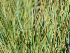 Ovsíř stálezelený - Helictotrichon sempervirens