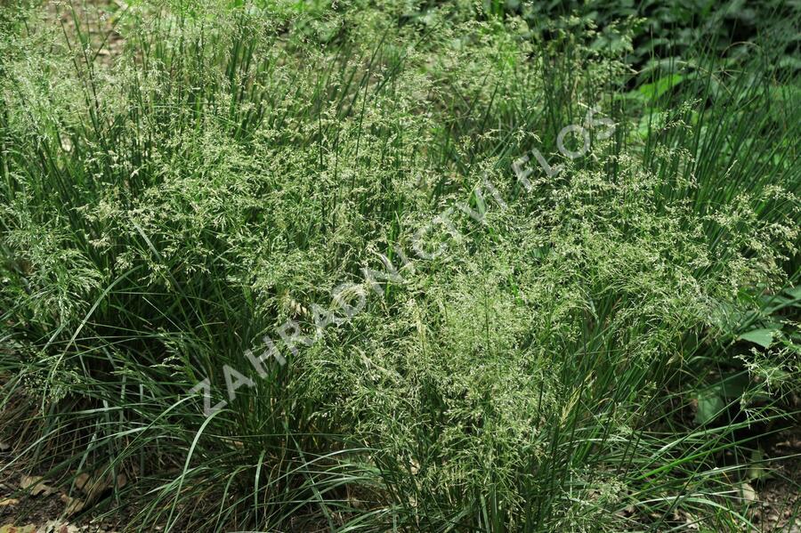 Metlice trsnatá 'Goldtau' - Deschampsia caespitosa 'Goldtau'