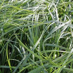 Ostřice ošimenská 'J. S. Greenwell' - Carex oshimensis 'J. S. Greenwell'