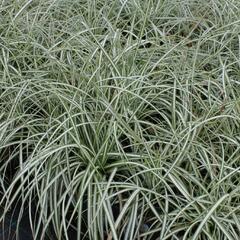 Ostřice ptačí nožka 'Variegata' - Carex ornithopoda 'Variegata'