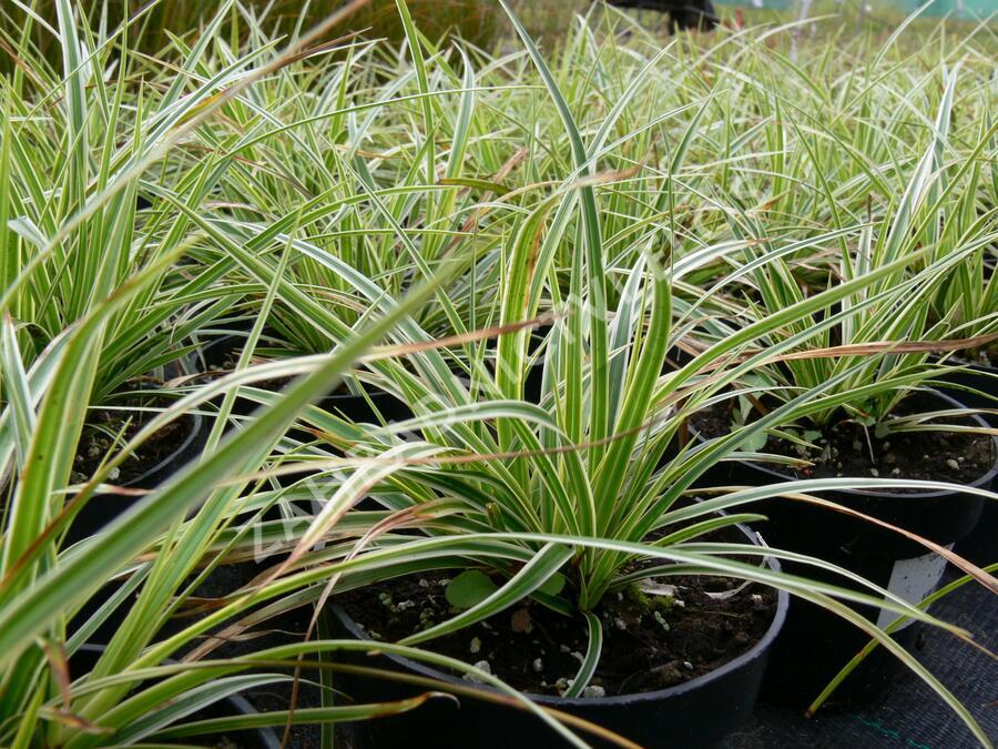 Ostřice japonská 'Fischer's Form' - Carex morrowii 'Fischer's Form'
